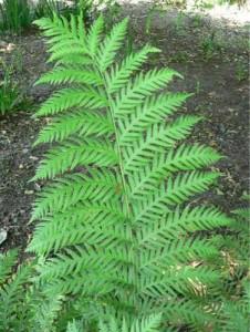 B7.fern-leaf
